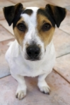 1403438_jacky_-_our_young_jack_russel_dog